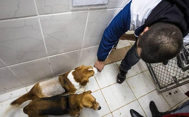 Ativistas invadem e resgatam cães da raça beagle do Instituto Royal, em São Roque (SP) 2
