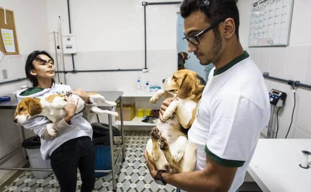 Ativistas invadem e resgatam cães da raça beagle do Instituto Royal, em São Roque (SP)4