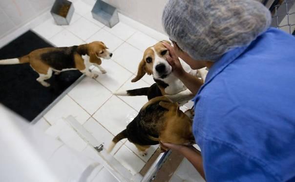 Funcionária brinca com cães mantidos no Instituto Royal; alguns são sacrificados durante os testes