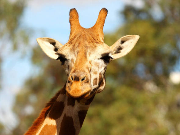 size_590_girafa
