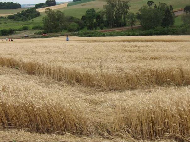 Os dois agroglifos estão a cerca de 1 quilômetro de distância entre si Foto: Ivo Hugo Dohl / vc repórter