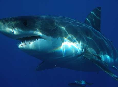 Tubarão branco é, até hoje, o peixe predador de maiores dimensões conhecido pelos pesquisadores | Foto: Wikimedia