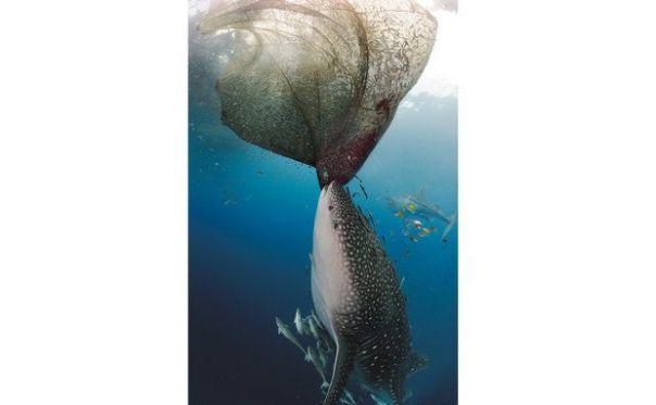 """m tubarão-baleia se mantém ereto e sacode uma rede, tentando agarrar o resultado do trabalho de um pescador. """"Esse comportamento revela que podem ser ativos na busca de alimento"""", diz o biólogo Morgan Riley, diretor do Programa de Pesquisa dos Tubarões-Baleia das Maldivas"""