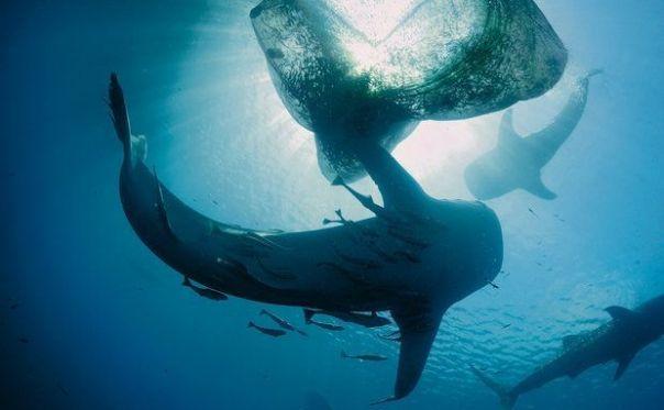 Em uma surpreendente interação no mar, tubarões-baleia colossais vão na direção de uma rede de para pesca de peixes, nas proximidades da ilha de Nova Guiné – enquanto pescadores dão lanchinhos para as bestas ladras