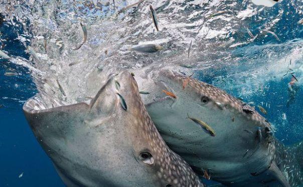 Sob uma bagan, tubarões-baleia machos – dois dos cerca de 20 que frequentam o local – lutam para agarrar um bocado de comida. Normalmente, um tubarão adulto desloca-se dia e noite a uma sossegada velocidade de 1,5 a 5 quilômetros por hora, filtrando os alimentos de que necessita. Já este grupo passa muito tempo na baía Cenderawasih, em Papua, um dos raros locais em que a espécie se reúne o ano todo. Empenhados em identificar cada tubarão por suas marcas particulares, os cientistas contam com a colaboração dos pescadores