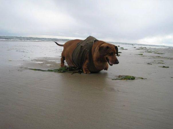 cachorro_obeso3