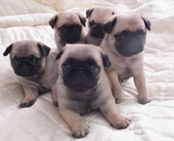 fabulously-chubby-pug-pups-5276647a2aa1a