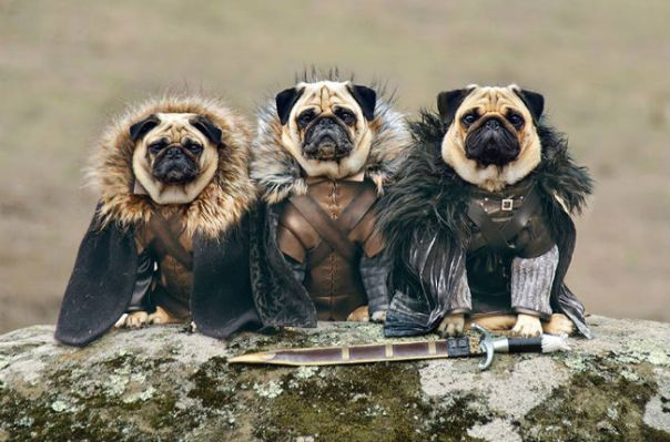 game-of-thrones-pugs