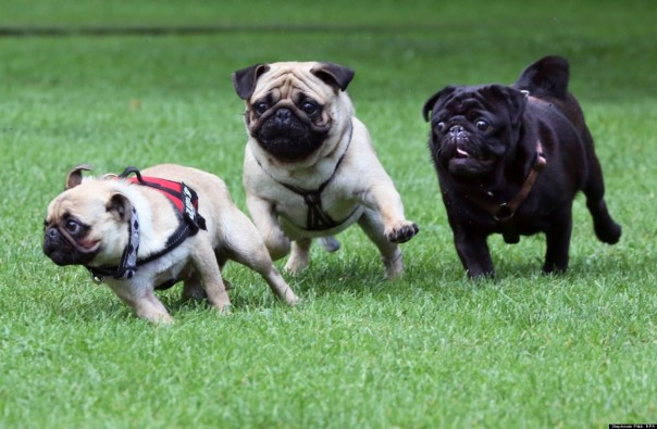 o-GERMAN-PUG-RACES-facebook