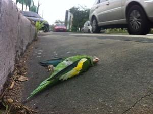 Cerca de 200 periquitos morreram, segundo Ipaam (Foto: Patrick Mota/Amazonas FM)